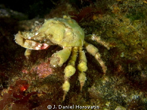 A reef crab having a bite to eat. Can anyone help with id... by J. Daniel Horovatin 
